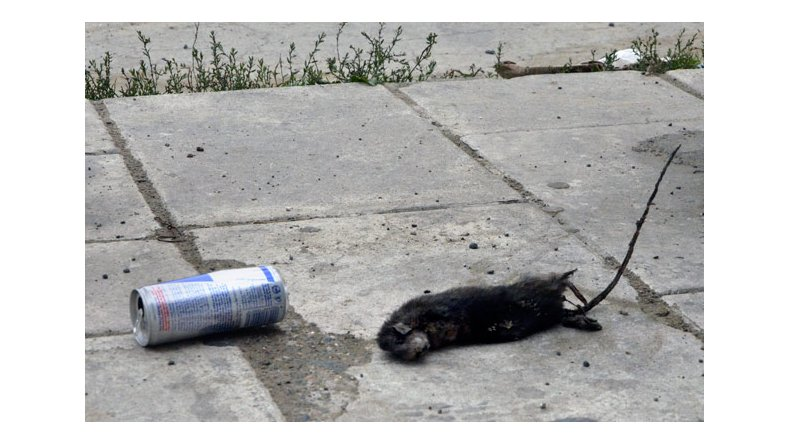 Una rata inusual