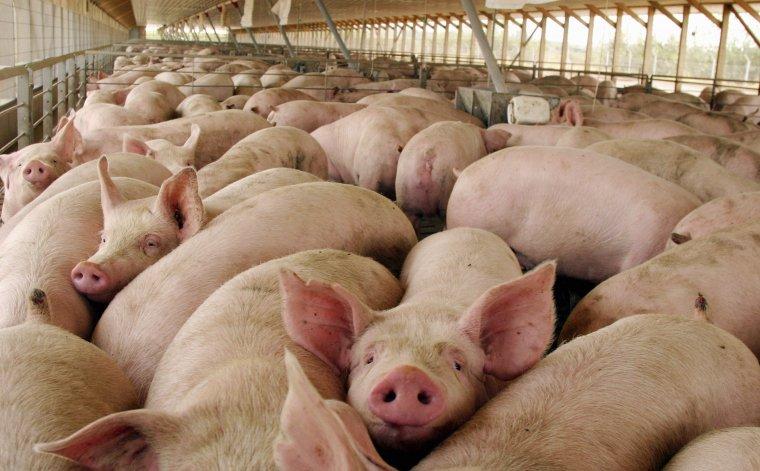 Preocupan condiciones sanitarias en la producción de porcinos