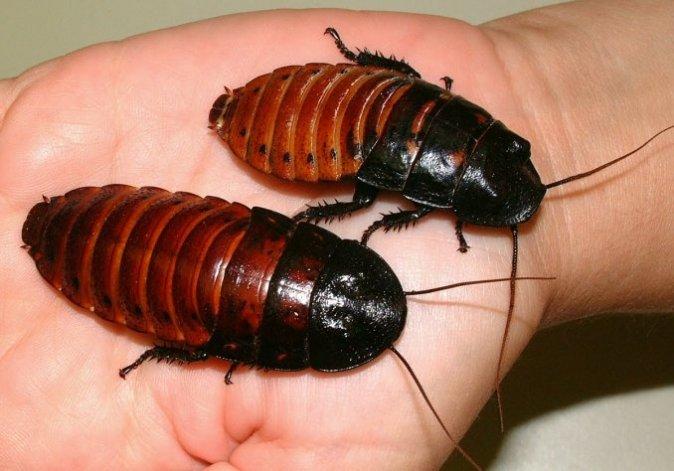 ¿Le temés a las cucarachas? Un estudio revela que tienen una mordida demoledora