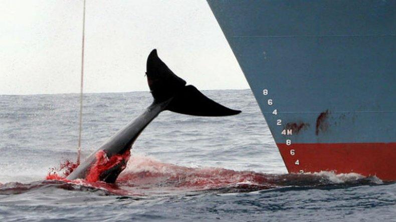 Barcos japoneses salen a cazar más de 300 ballenas a la Antártida
