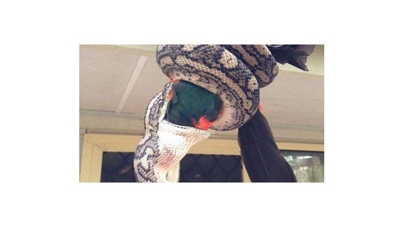 Así se devoró una pitó a un papagayo