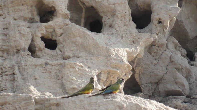 Unos 35.000 nidos activos de loros barranqueros