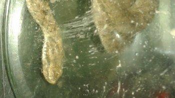 Habitantes de Ciudadela y de la Fracción 15 se encontraron con especies que serían de yarará ñata.