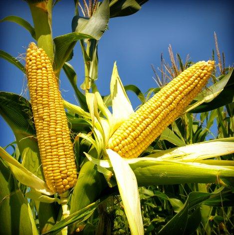 Será más negocio producir maíz