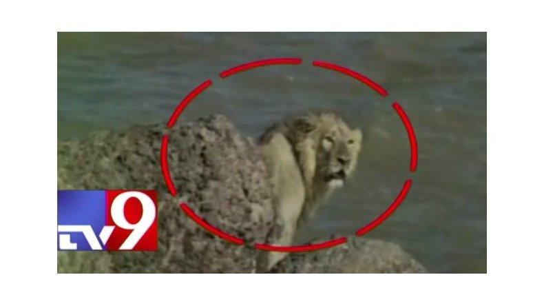 Un león arriesgado se tiró al mar