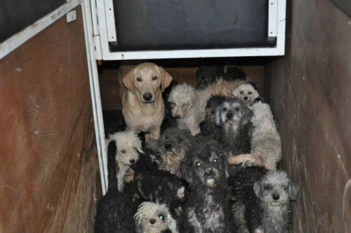 La justicia dispuso la adopción de más de 60 perros maltratados