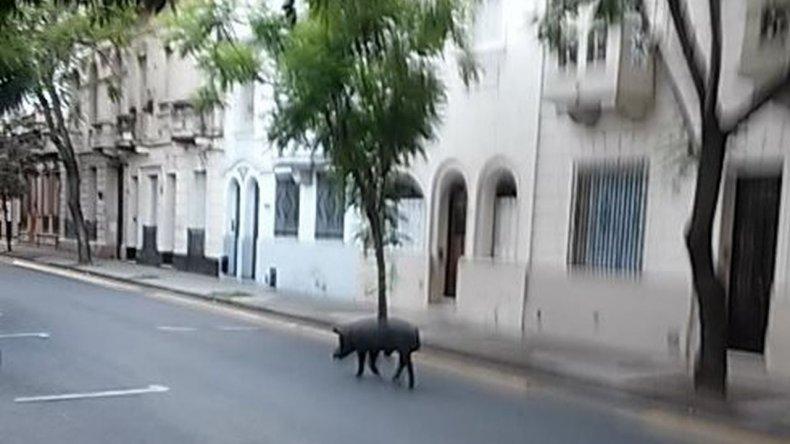 Un chancho suelto en las calles de Rosario