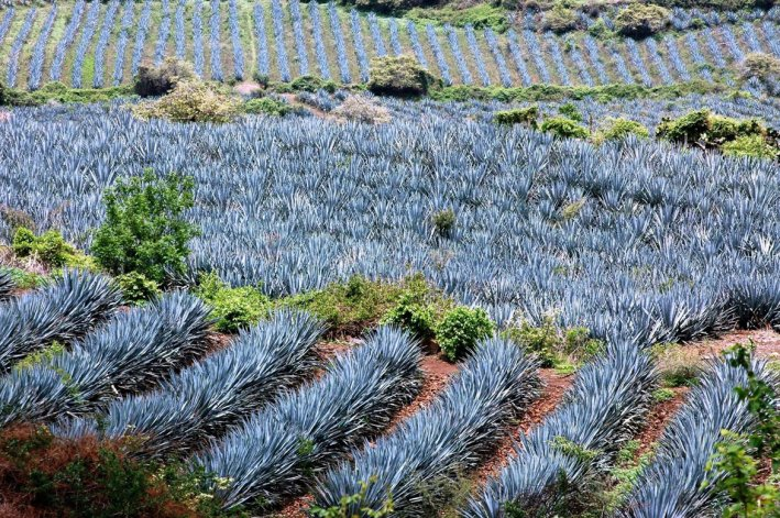 Un recorrido por los campos de las productoras de tequila