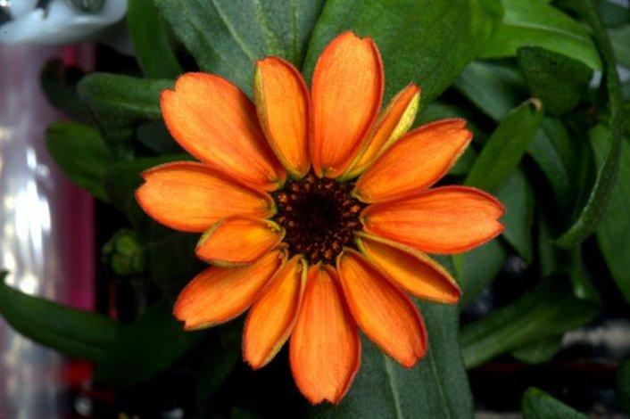 Por primera vez floreció una planta en el espacio