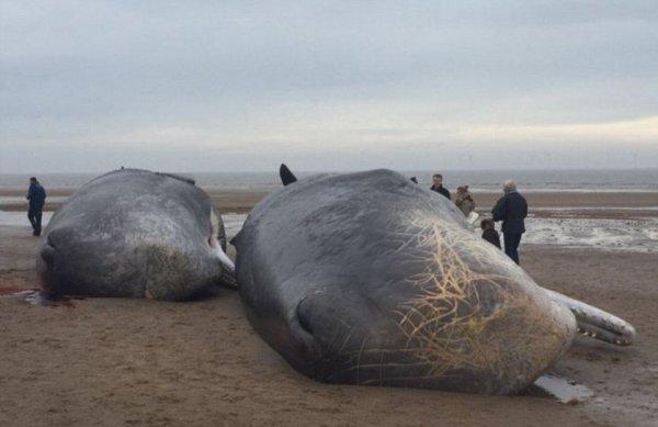 Cuatro ballenas aparecieron muertas en la costa inglesa