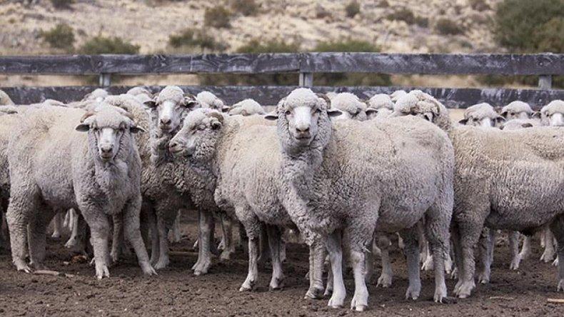 El Senasa declaró a Chubut libre de sarna ovina