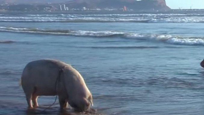 Un cerdo que disfruta de la playa