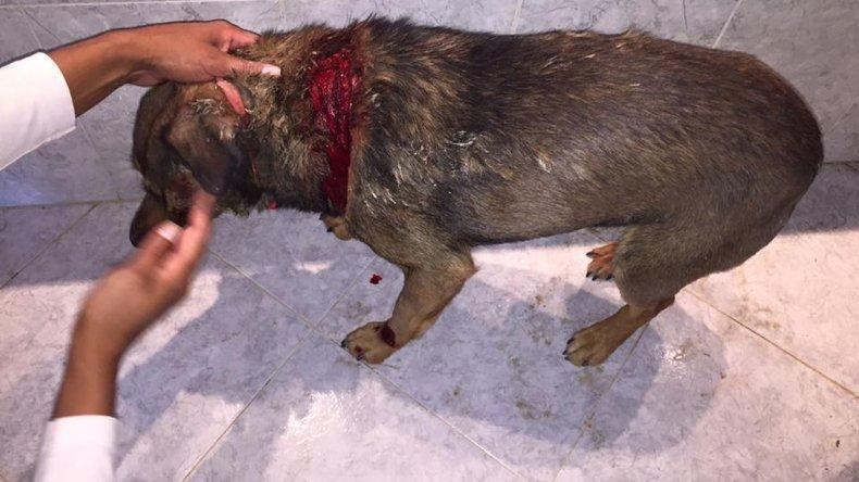 Un pitbull atacó a un vecino y a su perro: el dueño aseguró que le buscará otro lugar