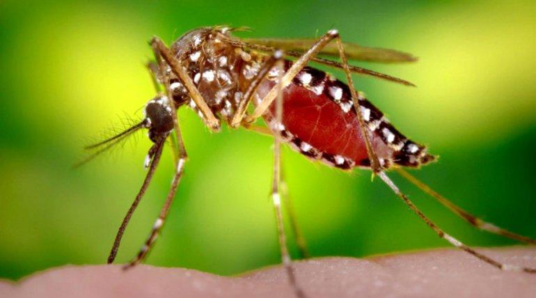 El mosquito Aedes