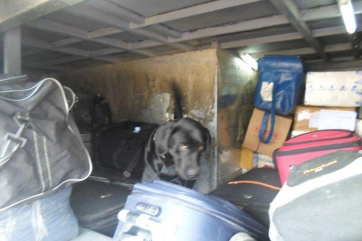 Perro antinarcóticos detectó 14 kilos de marihuana que trasladaban en ómnibus