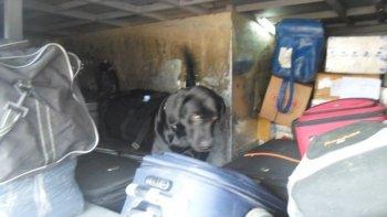 perro antinarcoticos detecto 14 kilos de marihuana