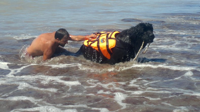 Newfoundland Dog Water Rescue In Genes