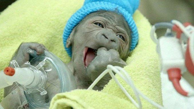 Mirá el tierno nacimiento de un gorila por cesárea