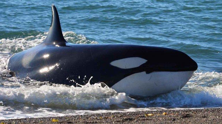 La temporada de orcas empieza en Semana Santa