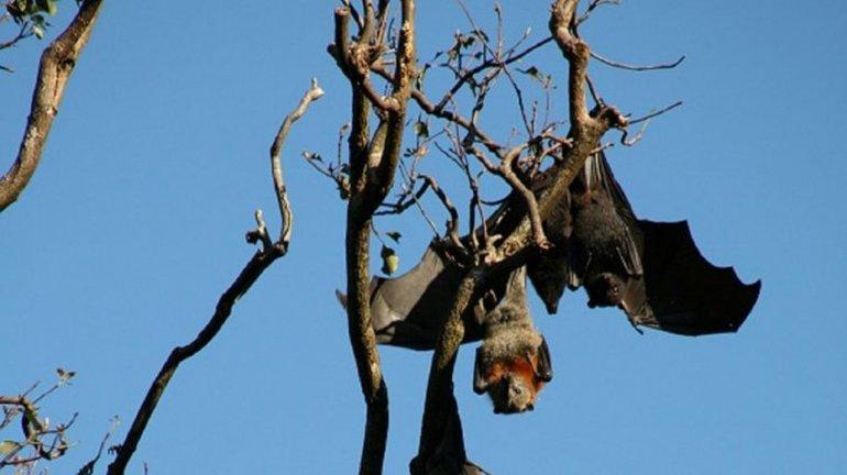 Murciélagos: ¿la solución para combatir el mosquito del dengue?
