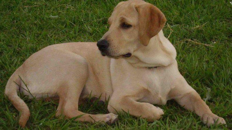 Un hombre quedó detenido por matar a un perro labrador