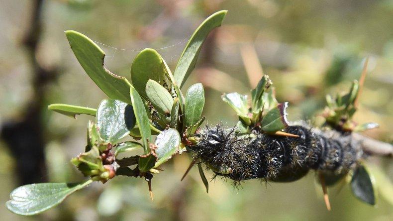La cuncuna está haciendo estragos en la zona boscosa de Río Senguer donde ya se comió gran parte del bosque nativo.