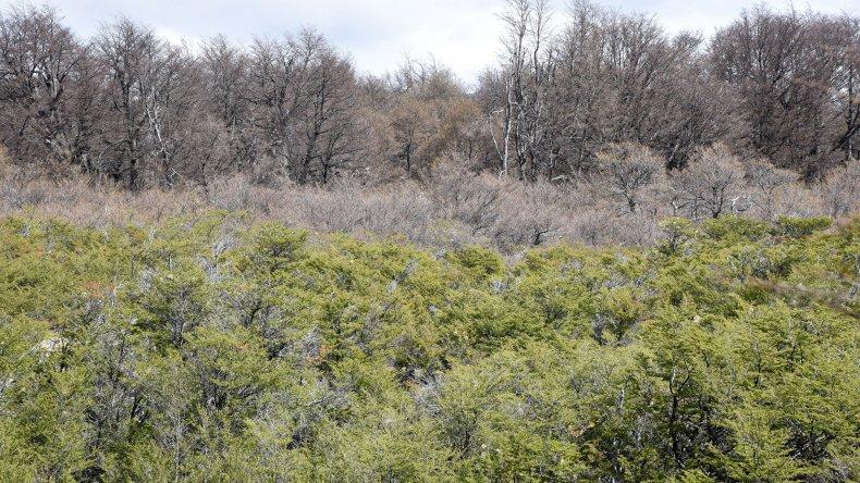 La  incertidumbre sobre si el bosque  será capaz de adaptarse a la plaga