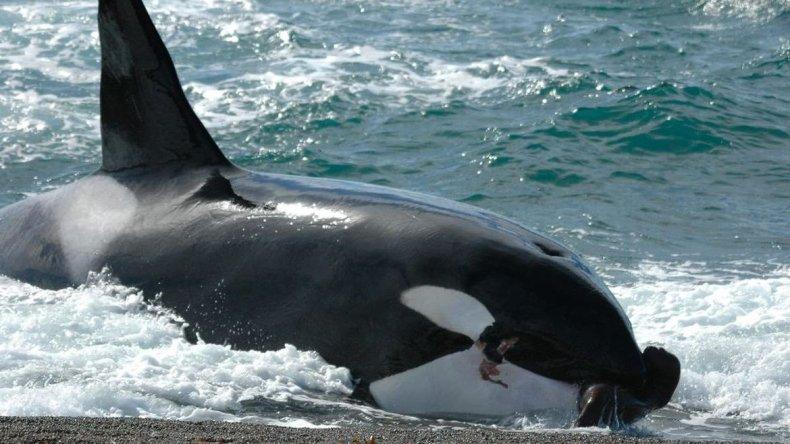 La temporada de varamientos intencionales de orcas, un espectáculo único en Chubut