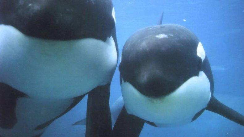 ORCAS EN PENINSULA VALDES