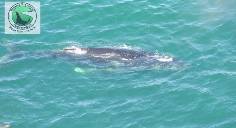 ¡Una ballena jorobada pasea en Punta Marqués!