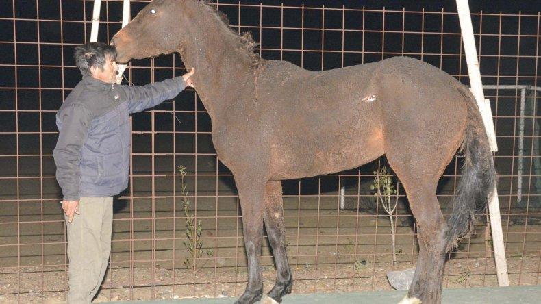 El fuego lastimó al caballo en el cuello y parte del lomo. Escapó del galpón y luego fue recuperado por su propietario