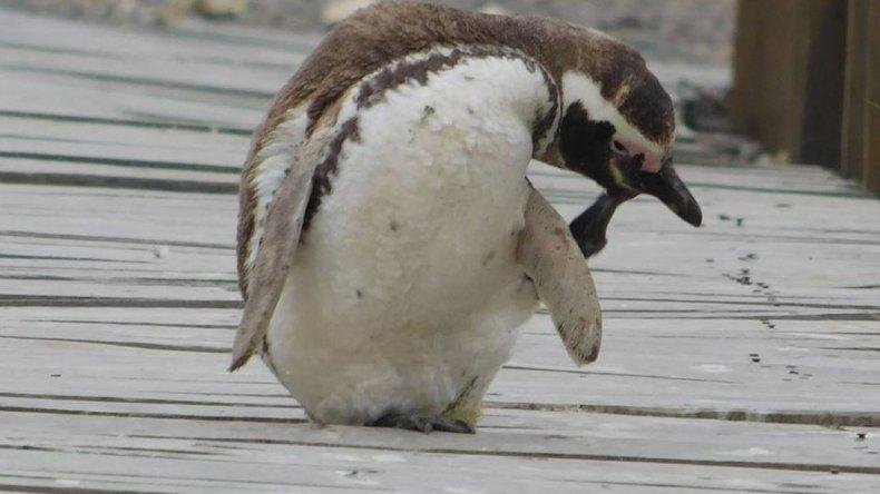 Los pingüinos se van despidiendo de Punta Tombo