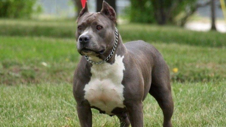 Otro Pitbull atacó a un menor en el Moure. Miembros de asociaciones defensoras dicen que hay una estigmatización hacia esa raza y que en realidad son animales cariñosos.