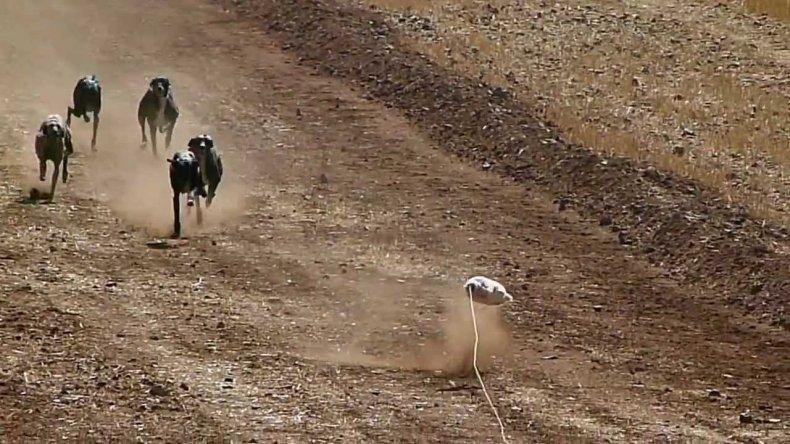 Las carreras clandestinas de galgos crecen sin control en Comodoro
