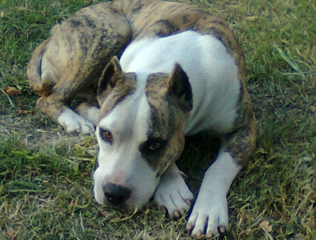 Los Pampa, una cruza clandestina de pitbull y dogo que crece en el país