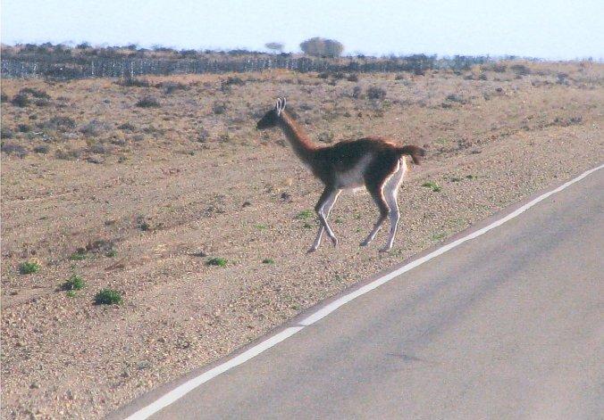 La incidencia del guanaco en el campo patagónico es objeto de permanentes estudios.