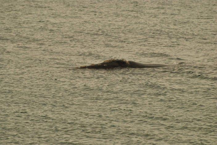 Llegaron las primeras ballenas a El Doradillo