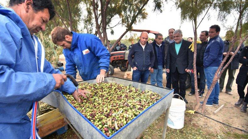 El gobernador durante la recorrida que efectuó ayer por un campo de olivares en Puerto Madryn.