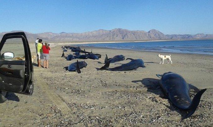Murieron 24 ballenas que quedaron varadas en una playa de México