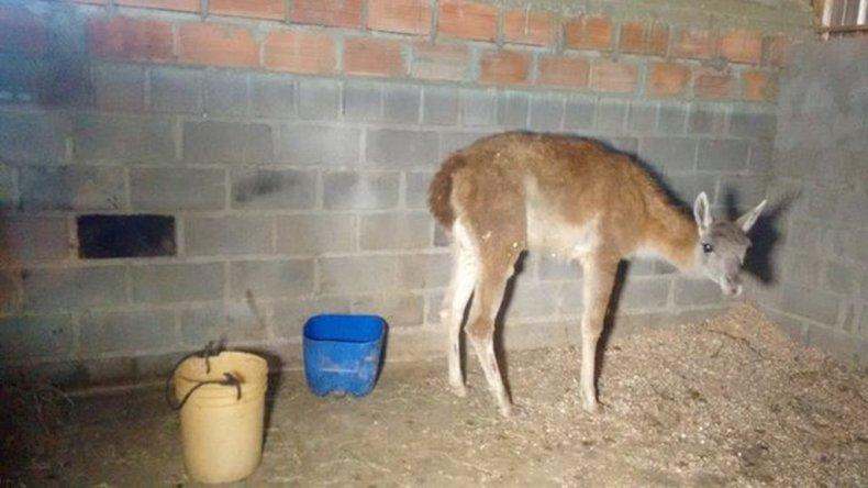 Así se encuentra hoy el guanaco en una de las caballerizas de la policía Montada.