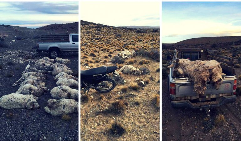 Perros abandonados matan a más de 30 ovejas preñadas