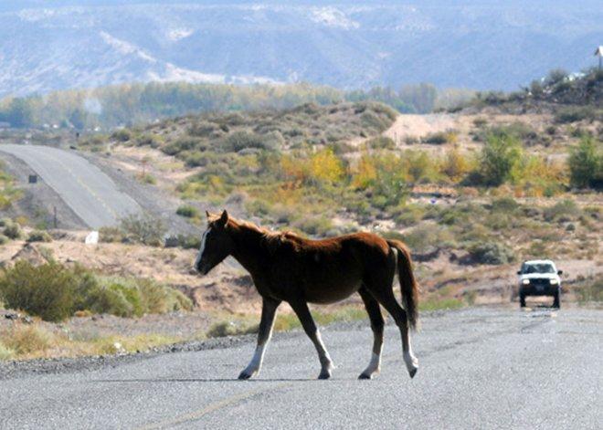 La presencia de animales sueltos representan un riesgo continuo en diferentes rutas de Chubut.