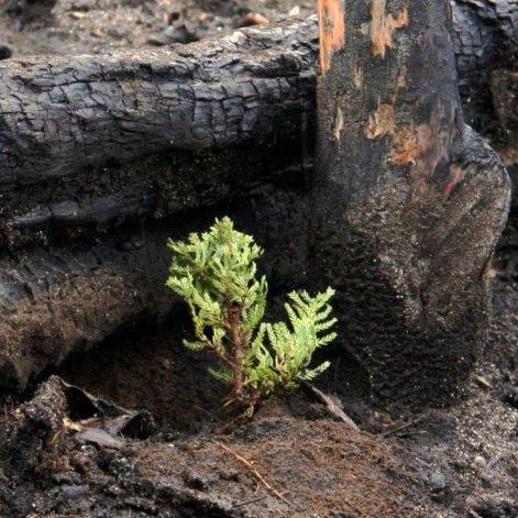 Plantarán 500 árboles en zona de bosques quemados