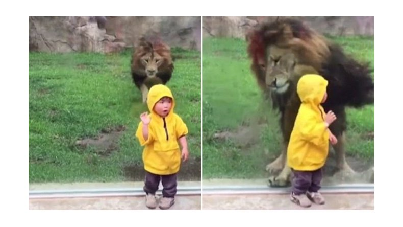 Un león atacó a un nene pero se olvidó que los separaba un vidrio