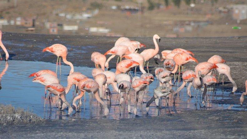 Centenares de flamencos se posan sobre la denominada Segunda Laguna de Caleta Olivia. Algunos se asientan allí durante alrededor de seis meses.