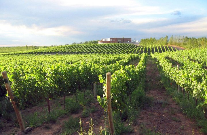 Las variedades plantadas en Neuquén son Chardonnay