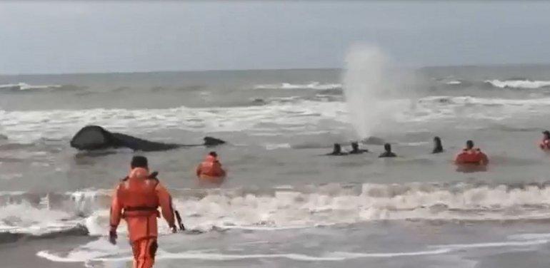 Intentan rescatar a una ballena encallada