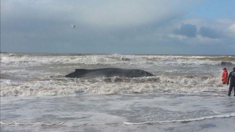 Apareció muerta la ballena que liberaron en Mar del Tuyú