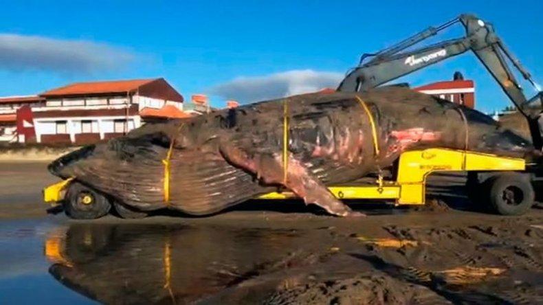 Trasladaron a la ballena que murió encallada