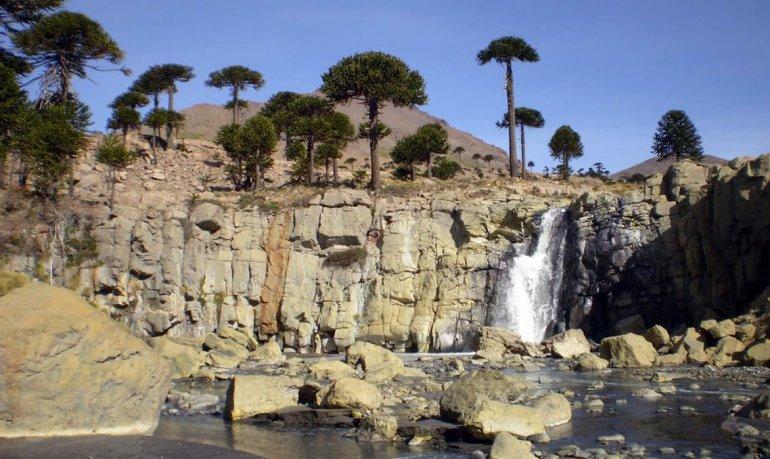 El circuito bordea los diversos paisajes por donde crece este milenario árbol.